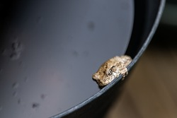 Macro closeup of one gray treefrog tree frog hyla versicolor on edge of black bucket container with water showing texture of fingers and eyes face