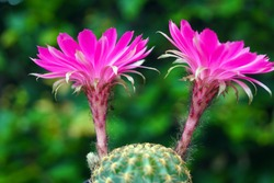 macro closeup of pink purple flowers of Echinopsis Lobivia winteriana blooming cactus against green garden background