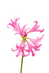 macro closeup of pink purple umbrella flowers with frilly petals of Nerine bowdenii bulb plant from Amaryllis family isolated against white background