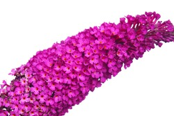 macro closeup of purple pink blue branch cluster tiny flowers of Buddleja davidii or summer lilac, butterfly-bush, or orange eye isolated on white
