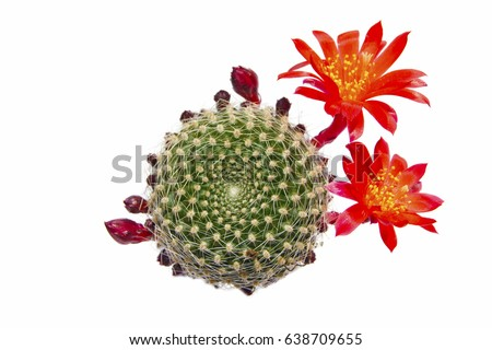 macro closeup of tiny little cute beautiful bright scarlet red flowers of Rebutia cactus, a small pot plant blooming in spring and summer, top flat view