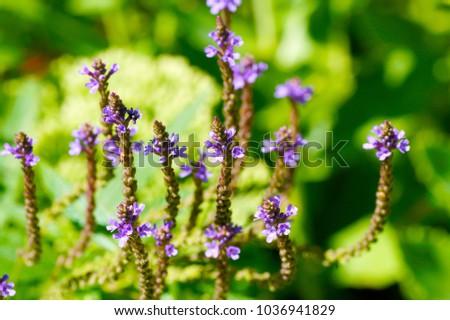 macro closeup of Verbena hastata tiny flowers(American blue swamp vervain) field blooming herb against green garden background