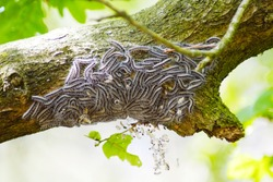 macro closeup of white nest of oak processionary caterpillars Thaumetopoea processionea on a infested  tree, poisonous hairs are dangerous for human skin and lungs causing rash, irritation and asthma