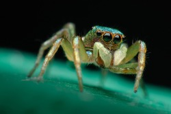 macro closeup on Hyllus semicupreus Jumping Spider. This spider is known to eat small insects like grasshoppers, flies, bees as well as other small spiders.