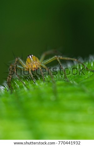 macro closeup on lynx spider have 8 eyes, and can be easily distinguished from spiders in other families by their characteristic hexagonal eye arrangement, as well as the often dagger-like spines