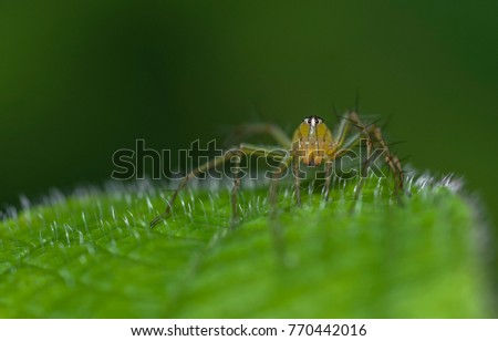 macro closeup on lynx spider have 8 eyes, and can be easily distinguished from spiders in other families by their characteristic hexagonaleye arrangement, as well as the often dagger-like spines
