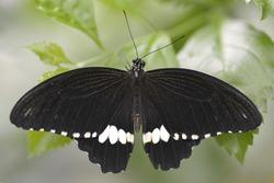 Macro common mormon (Papilio polytes) seen from above