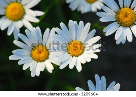 macro: daisy