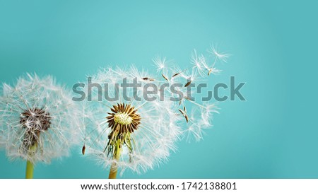 Macro dandelion at blue background. Freedom to Wish. Seed macro closeup. Goodbye Summer. Hope and dreaming concept. Fragility. Springtime. soft focus. Macro nature.