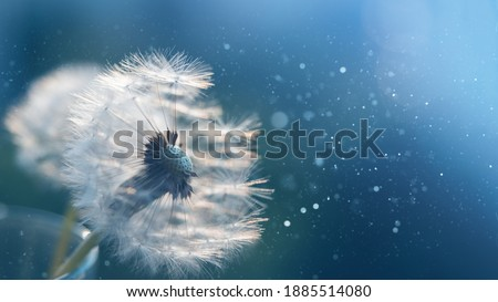 Macro dandelion at blue background. Freedom to Wish. Seed macro closeup. Goodbye Summer. Hope and dreaming concept. Fragility. Springtime. soft focus. Macro nature. Photo stock ©