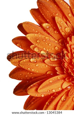 macro detail of an orange gerber daisy with drops of water on petals