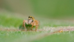 MACRO, DOF: Cute close up of an tiny spider with big black eyes and fuzzy legs. Adorable little jumping spider crawls along a vibrant green tree leaf. Lovely jumper spider is exploring the woods.