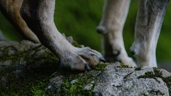 MACRO, DOF: Little aging dog stands on a mossy rock and tries to keep its balance. Detailed close up shot of an unrecognizable aging miniature pinschers tiny legs and feet while standing on a stone