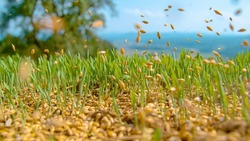 MACRO, DOF: Seeds fall onto the fertile soil of the idyllic green countryside. Tiny seeds of grass are scattered across the growing grassfield in rural Slovenia. Unknown farmer sowing grass in spring.