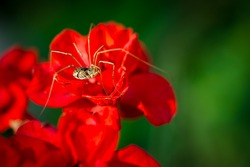 Macro, extreme close-up image of a Daddy Longlegs, or Phalangium opilio harvestman, sitting on a red flower.