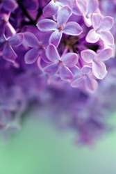 Macro flower lilac in closeup, colorful image, selective focus.