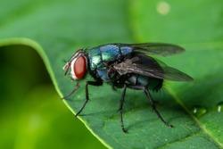 Macro fly green