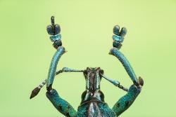 Macro from a weevil Eupholus schoenherri petiti in tuquoise