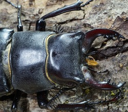 Macro front of the dorsal part of the imago of Caucasian stag beetle on the bark of the tree with green moss
