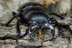 Macro front of the imago of Caucasian stag beetle Lucanus seated in the gap of tree bark