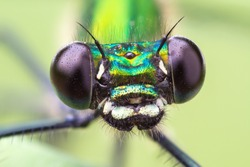 Macro frontal portrait shot of a Banded Demoiselle Dragonfly black eyes Calopteryx splendens