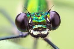Macro frontal portrait shot of a Banded Demoiselle Dragonfly black eyes Calopteryx splendens
