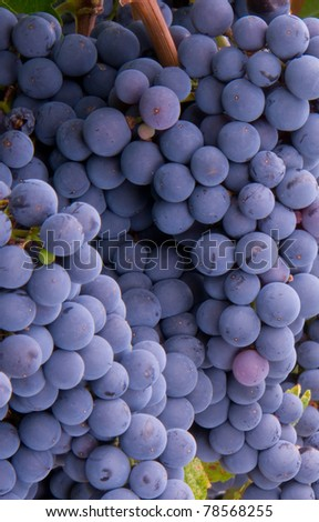 Macro Grape Cluster Sweet Fruit Food Ripe ready for Harvest