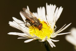 Macro gray-brown Caucasian flyfly sprout Delia platura eating on a yellow-white flower Erigeron canadensis in summer