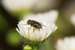 Macro gray-brown Caucasian flyfly sprout Delia platura sitting on a yellow-white flower Erigeron canadensis in the rain a droplet on the wing