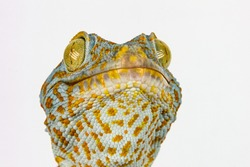 Macro head of gecko reptile with big eyes and eyelashes on white background