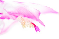 macro high key shot of detail of pink cactus flower isolated on white