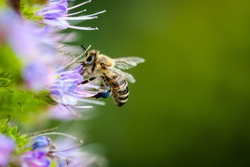 Macro Honey bees