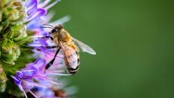 Macro Honey bees