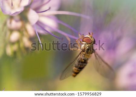 macro hoverfly Episyrphus balteatuson violet flower eating pollen nectar summer with detail. close up of marmalade hoverfly or Episyrphus balteatus sitting on flower in the garden. Stockfoto ©