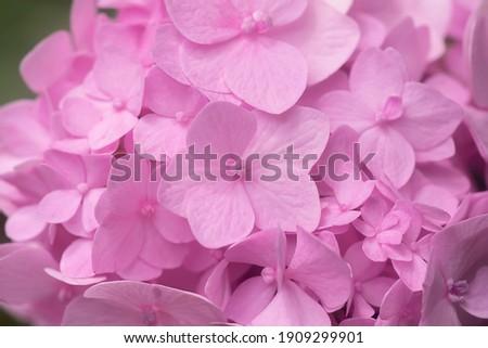 Macro image, Close up soft pink hydrangea flower background