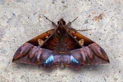 Macro image nature and unique moth of Sabah, Borneo