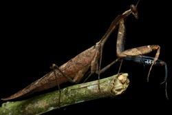 macro image of a beautiful dead leaf mantis - Deroplatys desiccata