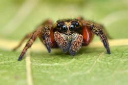 macro image of a beautiful jumping spider