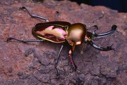 macro image of a beautiful male Rainbow Stag Beetle - Phalacrognathus muelleri