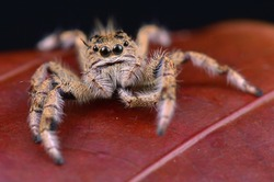 macro image of a big and beautiful hairy jumping spider - Hyllus sp.