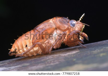 macro image of a cicada shell exoskeleton