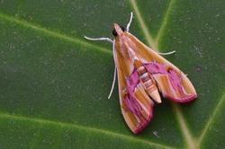 macro image of a colorful Crambid Moth - Agathodes ostentalis