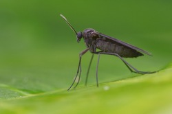 macro image of a Dark-winged Fungus Gnat on green leaf