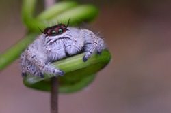macro image of a female Jumping Spider - Hyllus Giganteus