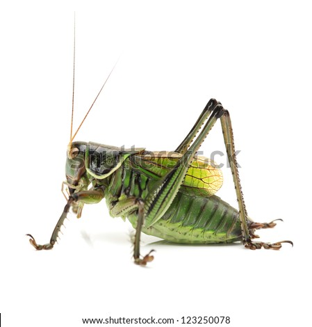Macro image of a grasshopper isolated on white background