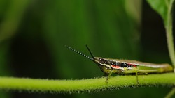 Macro image of a grasshopper with green blur background
