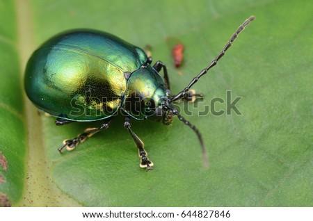 macro image of a green shiny leaf beetle