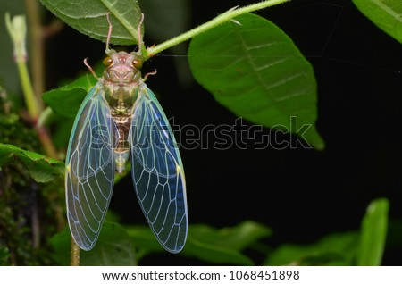 Macro image of a newly emerged cicada