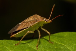macro image of a southern green stink bug (nezara viridula) on a green  leaf. It has brown autumn coloration. It is an economically important pest that feeds on crops such as beans and  soybeans.