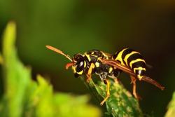 Macro image of a Vespula germanica (European wasp, German wasp) on wild mint leaf on natural background.